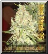 Black Triangle OG Kush Cannabis Seeds for sale